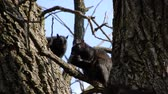 nozes : 4K Squirrel In Tree Eating Nut With Second Squirrel Appearing Stock Footage