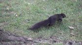 nozes : Slow Motion Black Squirrel Jumping On Grass Stock Footage