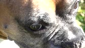 arquejo : Super Slow Motion Boxer Dog Close Up Turning Its Head Vídeos