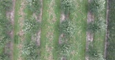 greenhouse : Vertical Rows Of Apple Trees In Apple Orchard In Summertime Aerial Stock Footage