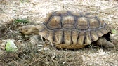 popping : Giant Tortoise Heading Popping Out Of Shell