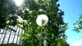 provocação : poplar fluff and dandelion in the city Stock Footage