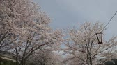 scene : On a sunny day along the sidewalk at Iwakuni with cherry blossoms tree, Japan