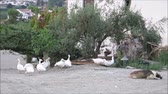 group of animal : Gaggle of geese and sleeping dog in Andalusian farmyard setting under olive and lemon trees, Spain Stock Footage