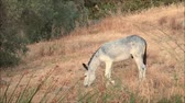 pastvisko : Grey tethered donkey feeding on sparse meadow grass in Andalusian morning sun