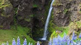 blooming : blooming lupine flowers near majestic waterfall in Iceland, Europe. Full HD video (High Definition).