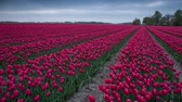 декорации : Tulips farm near the Creil town. Beautiful morning scenery in Netherlands, Europe. Exported from RAW file. Стоковые видеозаписи