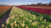 цветение : Tulips farm near the Rutten town. Beautiful morning scenery in Netherlands, Europe. Exported from RAW file. Стоковые видеозаписи