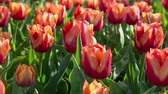 arquivo : Tulips farm near the Rutten town. Beautiful morning scenery in Netherlands, Europe. Exported from RAW file. Stock Footage