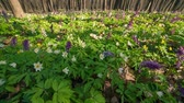 pano de fundo : Blooming anemone flowers in the spring forest. Used as natural background. Exported from RAW file.