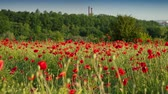 цветение : Fields of blossom poppy in suburban zone