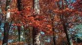 illumination : Defoliation in the autumn forest. Colorful morning in the carpathian mountain wood. HD video (High Definition). Exported from RAW file. Stock Footage