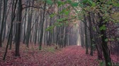 tronco : Colorful autumn morning in the foggy forest. HD video (High Definition). Exported from RAW file.