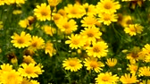 windy : Yellow Daisy