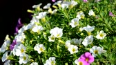 smell : Small petunia in the wind