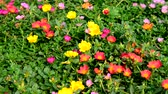 little : Portulaca flower and bee