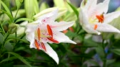 tigrinum : Lilly Flower Blowing in the Wind