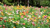 everlasting : Strawflower in the wind Stock Footage