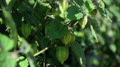 chinese gooseberry : Cape Gooseberry , Physalis angulata, ground cherry growing on tree