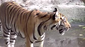 tigresa : Tigre en zoológico de caminar clip HD Archivo de Video