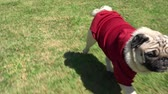 agilitás : Slow motion of Pug breed dog running outdoor on green grass so happiness and fun
