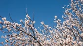 blossoming : Cherry blossoms moving with the breeze on a warm and sunny spring day