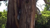 cinereus : Young Koala climbing trees in the Great Otway National Park