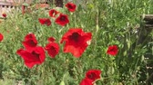 red : Field of Poppies in a Tuscan meadow, slow motion Stock Footage