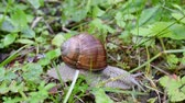 caracol : Snail moving in the woods Stock Footage