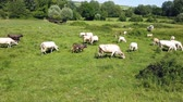aquitaine : herd of cows of different breeds grazing peacefully in the green countryside in spring Stock Footage