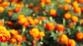 cobre : Out of Focus Bokeh of Golden Bushy Clusters of Blooming Marigold Plants in Garden 1080p Stock Footage