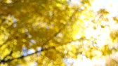astarlı : Yellow Fall Leaves on Beech Trees Out of Focus Bokeh Background on a Sunny Day in Autumn Season 1920x1080