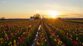 lamacento : Golden Sunset at Wooden Shoe Tulip Farm Early Spring Season in Woodburn Oregon Time Lapse 1920x1080 Zooming Out