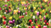 kwiaty : Bright Colorful Tulips Out of Focus Bokeh Background in Woodburn Oregon on a Sunny Spring Season Day 1920x1080