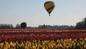 gorąco : Hot Air Balloons taking off in Colorful Tulip Farm in Woodburn Oregon One Spring Morning 1920x1080