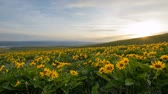 kwiaty : Arrowleaf Balsamroot Wildflowers Blooming in Spring at Columbia Hills State Park Along Columbia River Gorge with Mt Hood View Moving Clouds and Sky at Sunset Time Lapse 1920x1080