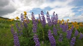 lupine : Lupine and Balsamroot Wildflowers Blooming Spring Season in Maryhill Washington with White Clouds and Blue Sky on a Windy Day 1920x1080 Stock Footage