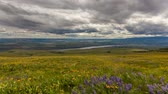lupine : Lupine and Balsamroot Wildflowers Blooming Spring Season in Maryhill Washington Rolling Hills Landscape with Sun Dark Clouds and Sky on a Stormy Day 1920x1080