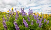 lupine : Lupine and Yellow Balsamroot Wildflowers Blooming Spring Season in Maryhill Washington with White Clouds and Blue Sky Time Lapse 1920x1080 Stock Footage