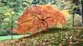 проливая : Out of Focus Blurred Background Red Laced Maple Tree with Covered Leaves on Mossy Ground in Autumn Season in Portland Japanese Garden 1920x1080 Стоковые видеозаписи