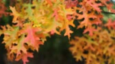 sivri : Fall Color Oak leaves on branches swaying on a windy day autumn season movie 1920x1080 Stok Video