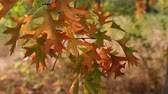 sivri : Fall Color Oak leaves on branches swaying on a breezy day autumn season movie 1920x1080