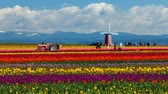field : Wooden Shoe Tulip Festival, Woodburn Oregon - Mar 31, 2016: Families and Tourists enjoying colorful Tulip fields in Spring Season. This Festival is a popular destination with locals and tourists.