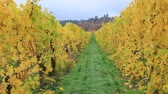 High definition 1080p video zooming out of grape bearing vines closeup in colorful fall season HD Dostupné videozáznamy
