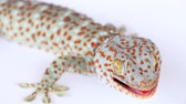 pegajoso : Gecko of northern Thailand Stock Footage