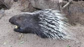 quill : porcupine