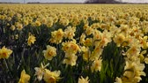 flowering bulbs : Flower fields in the Dutch province of North Holland.