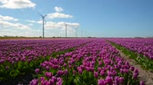 flowering bulbs : Tulip field with windmills in the background.