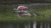 roseate spoonbill bird on a pond in Florida Dostupné videozáznamy