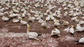 gannets birds colony at Bonaventure Island Quebec Canada at summer daytime footage with audio Dostupné videozáznamy